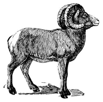 Le mouton de l'île Soay