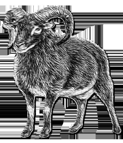 Le mouton de l'île de Soay